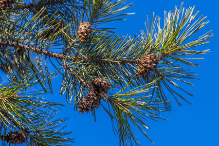 Pine. Forest. Buds on the branches . Green needles Stok Fotoğraf