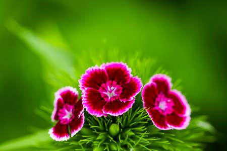 The Romantic pink peonies in spring garden.