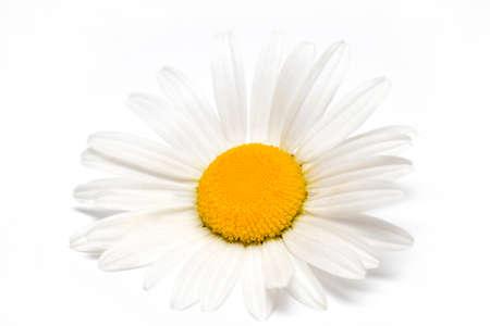 daisyflower: Chamomile or camomile flowers isolated on white background.