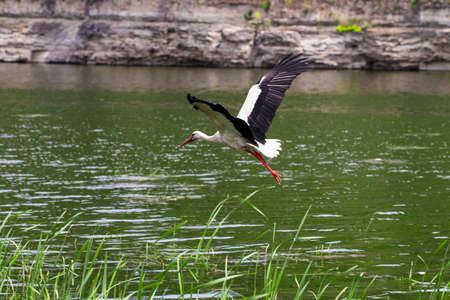 The White Stork. The Stork in flight. Stock Photo