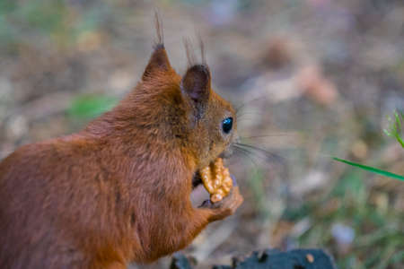 peep: The Curious squirrel. Red Squirrel. Squirrel. Forest. Stock Photo