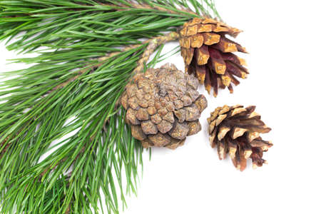 Leaves and pine cones for Christmas on white background.