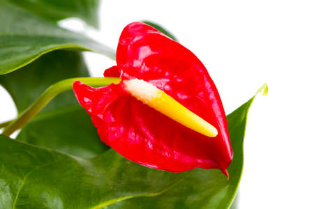 Red Calla, heart shape, on white background. Anthurium tropical plant, of arum araceae group of plants. Stock Photo