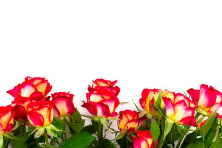 red roses on a white background, with copy space.