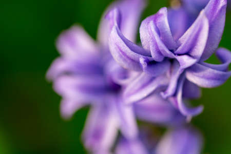 Spring purple flowers on green backgroundhyacinths close up spring purple flowers on green backgroundhyacinths close up textures stock photo mightylinksfo