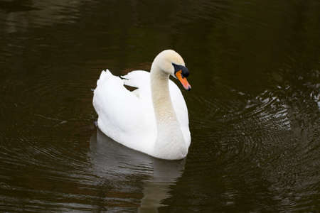 Portrait of a white Swan with an orange beak, close-up. Stock Photo