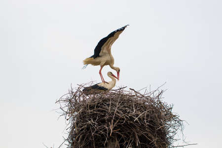 Two white stork Ciconia ciconia is mating in the nest.