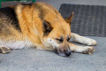 German Shepherd  dog  the lying on the front porch of a home. Stock Photo