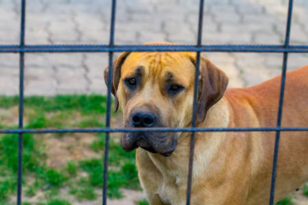 purebred big brown South-African massive dog species Boerboel.