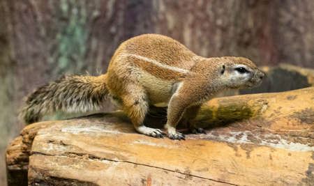 African earth squirrel closeup photo