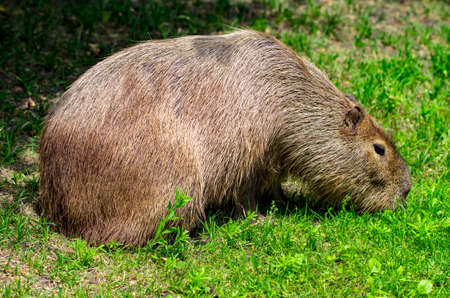 Capybaras - Hydrochaeris hydrochaeris - The largest living rodent in the world.