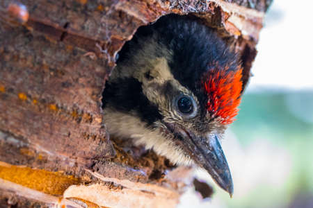 Juvenile Great Spotted Woodpecker (Dendrocopos major) looks from nest hollow.