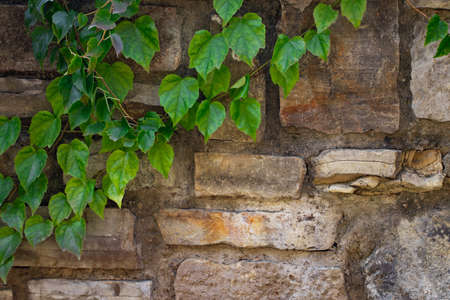 climbing plant with green leaves on the old stone wall. Imagens