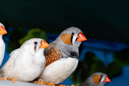 Beautiful bird, Zebra Finch (Taeniopygia guttata) perching on a branch. 版權商用圖片
