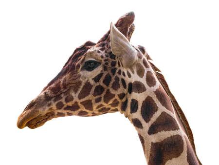 Giraffe isolate on white
