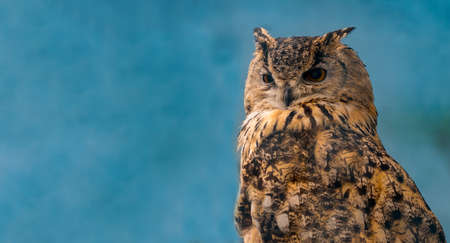 Beautiful eagle owl on blue  with copy space.
