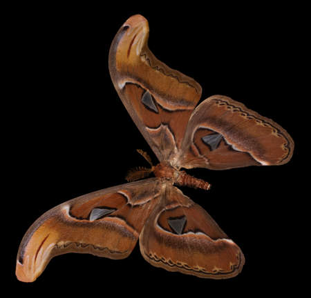Attacus atlas. Color butterfly, a black background.