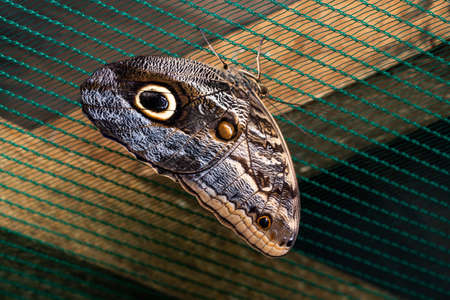 Blue Morpho Butterfly Perched on netting. Beauty of nature.