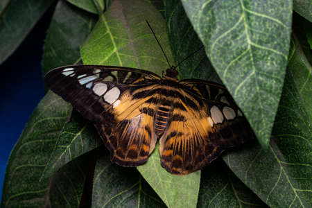 Beautiful tropical butterfly on green leaves. Beauty of nature. Stock Photo