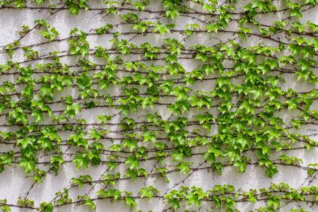 Hojas verdes Textura de la pared de hojas verdes. Fondo de verano. Foto de archivo