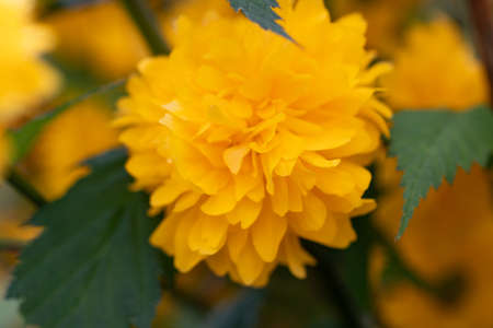 Kerria beautiful shrub with yellow flowers in spring Stock Photo