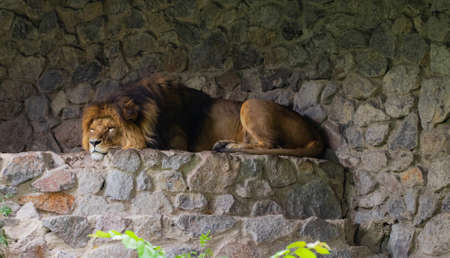 beautiful lion, on the background of green trees in the zoo. Archivio Fotografico