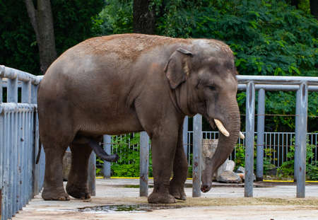 Elephant in the zoo. Stock Photo