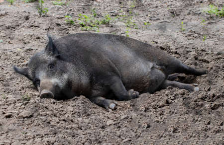 The wild boar lies in the zoo.