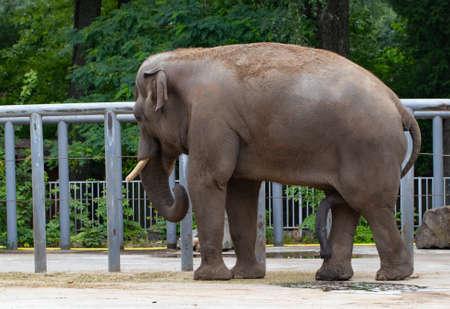 Elephant in the zoo. Reklamní fotografie