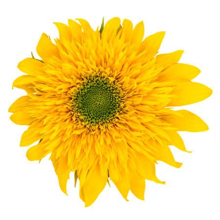Flower of sunflower isolated on white Stock Photo