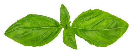Basil leaves isolated on white with clipping path. Stock Photo