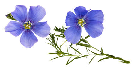 Flax blue flowers isolated on white Stock Photo