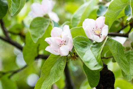 Apple tree in full bloom. All the branches are strewed with buds and fresh white and pink flowers. Stockfoto