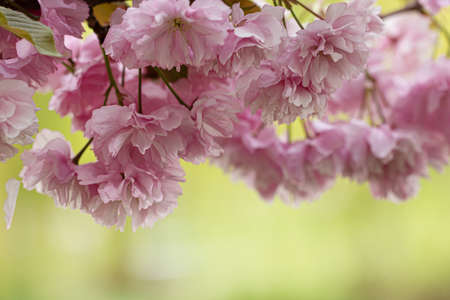 Pink Flowers Sakura decorative tree spring. A bunch of blossoming sakura branch in spring time.