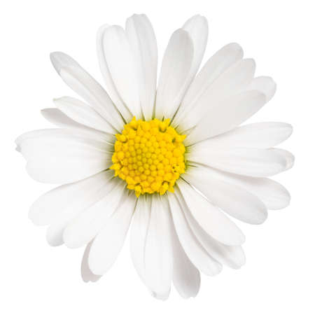 Daisy flower isolated on white background. Ð¡hamomile isolated. Zdjęcie Seryjne