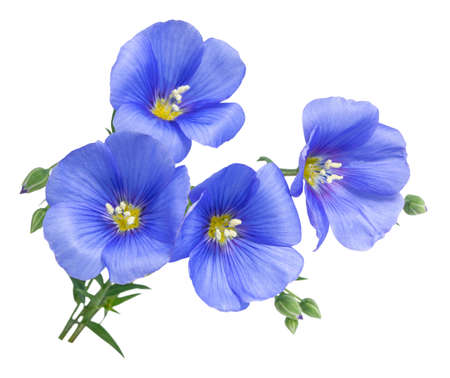 Flax blue flowers isolated on white background.