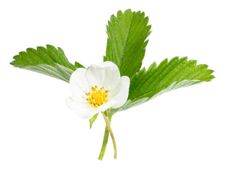 strawberry flower isolated on white background.