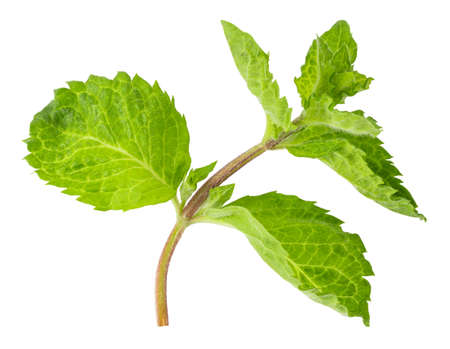 Fresh mint leaves isolated on white  background. Stok Fotoğraf