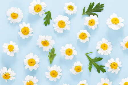 Daisy pattern. Flat lay spring and summer chamomile flowers on  blue
