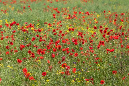 red poppy flowers in a field, banner.