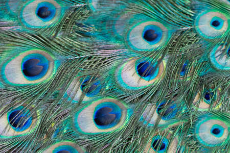 peacock feather pattern texture background. Blue peacock feathers in closeup.