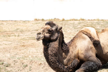 camel lies on a background of sand with copy space.