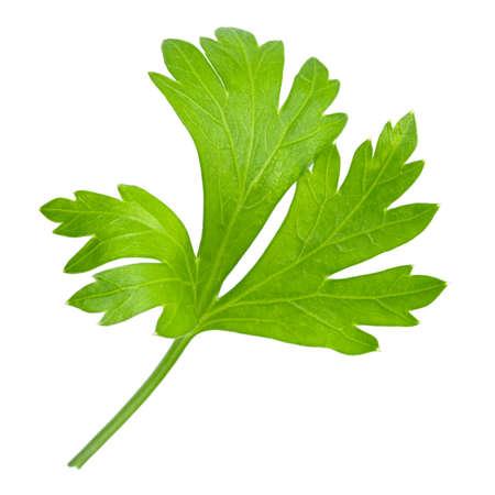 Parsley. One parsley leaf isolated on white background.