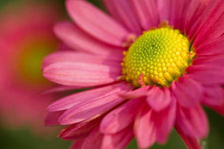 girlie: Beautiful pink chamomile outdoor