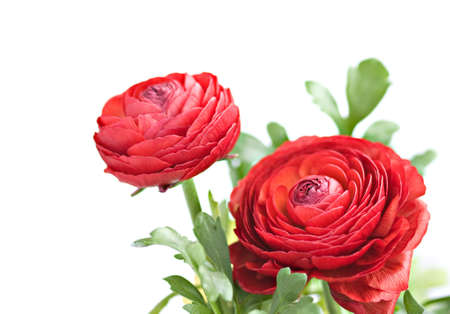 Red Ranunculus asiaticus (Persian Buttercup); isolated on white; Reklamní fotografie