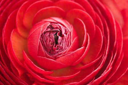 ranunculus: Closeup of red ranunculus Stock Photo