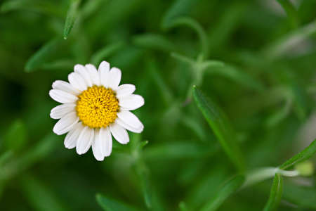 Alone chamomile flower with green background photo