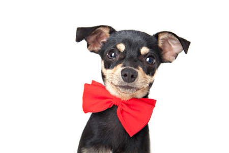 Toy terrier looking at camera isolated on white photo