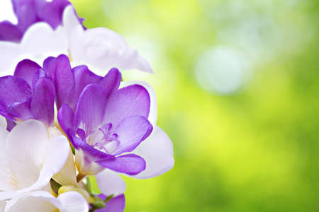 Fresh fresia flowers isolated over white background Stock Photo - 18270127