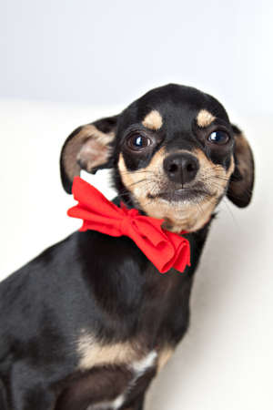Toy terrier looking at camera photo